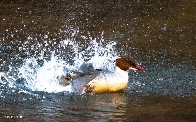 La pista viaggia parallelamente a dei corsi d'acqua permettendo di ammirare anche numerosi uccelli che si dissetano: potrete imbattervi in cigni, aironi e germani